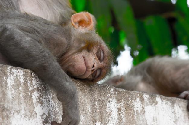 Indiase aap ook bekend als de resusaap die een kort dutje doet of onder de boom slaapt