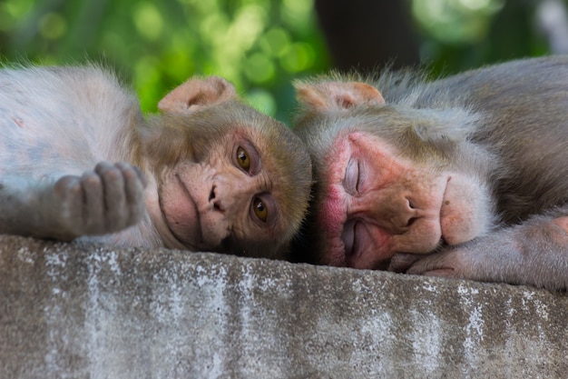 Indiase apen, ook bekend als de resusaap, doen een kort dutje of slapen onder de boom