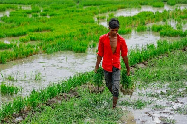 Indiase arbeid werken in rijstveld