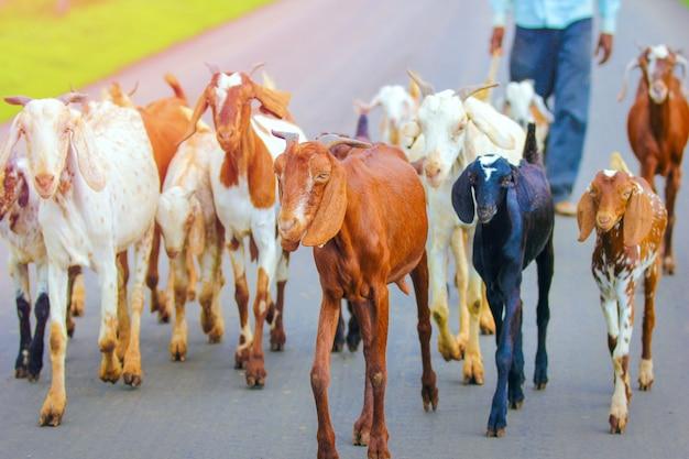 Indiase geit op het veld