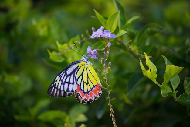 Indiase jezebel vlinder