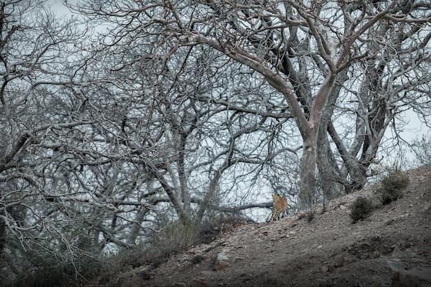 Indiase luipaard in de natuurhabitat luipaard rustend op de rots wildlife scene met gevaardier
