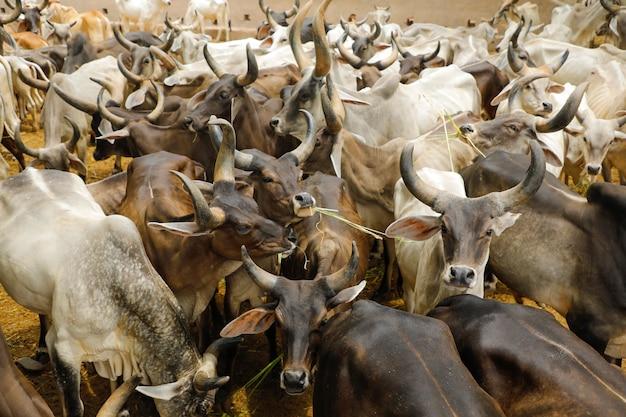 Indiase melkveehouderij, indisch vee