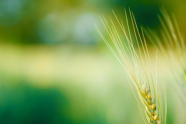 Indiase tarwe veld
