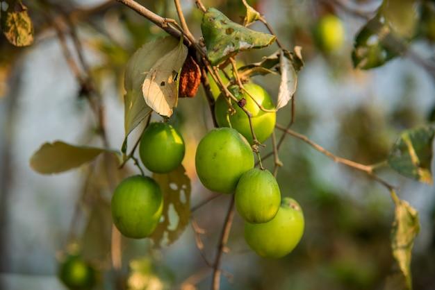 Indische jujube of ber of bes (ziziphus mauritiana) op boerderij veld
