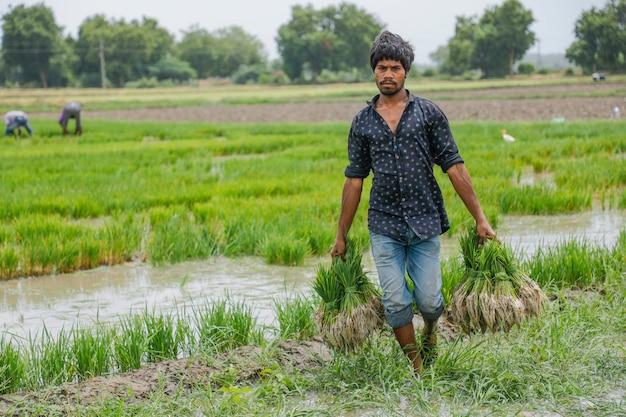 Indische landbouwer die in padieveld werkt