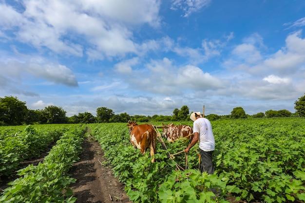 Indische landbouwer die met stier bij zijn katoenen gebied werkt