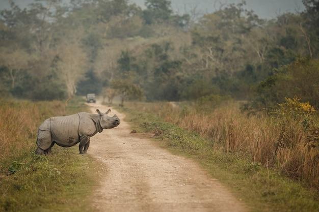Indische neushoorn in azië indische neushoorn of eenhoornige neushoorn unicornis met groen gras