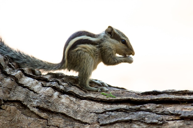 Indische palmeekhoorn of knaagdier of ook bekend als de aardeekhoorn die op de rots zit en er gepauzeerd uitziet