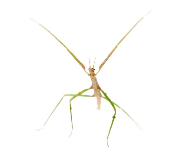 Indische stick insect, carausius morosus ook bekend als een laboratory stick insect, staande tegen een wit oppervlak