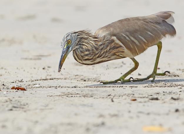 Indische vijverreiger die een kleine krab op het strand vangt.
