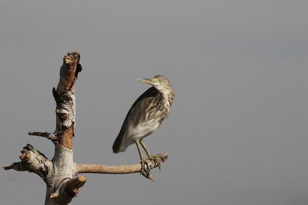 Indische vijverreiger neergestreken op een tak