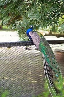 Indische wilde pauw op hek