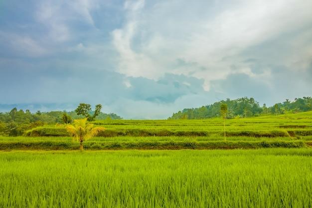 Indonesië. rijstvelden op het eiland java. bewolkte avond