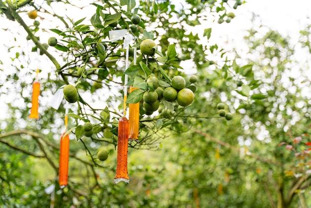 Indonesische lokale citrusvruchten die zoet smaken en de kleur is een mix van oranje en groen