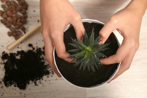 Indoor bloem thuis plant transplantatie, teelt, verzorging.