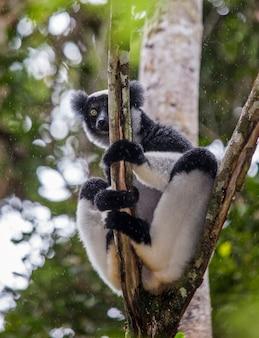 Indri zit op een boom in de regen. madagascar. mantadia nationaal park.