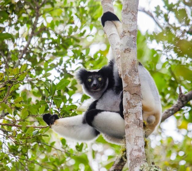 Indri zit op een boom. madagascar. mantadia nationaal park.
