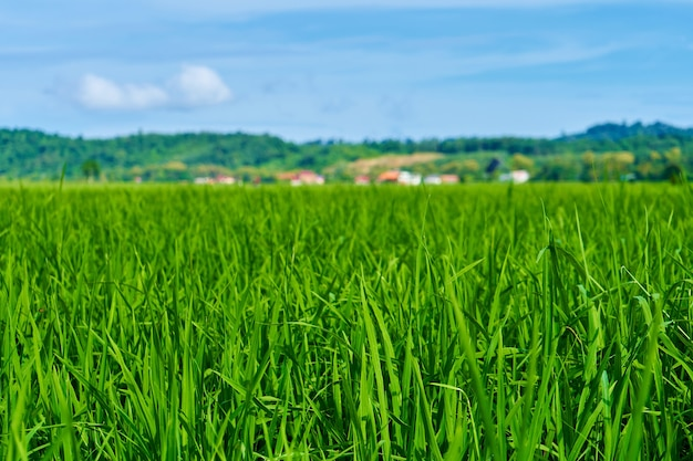 Indrukwekkend landschaps groen padieveld met bergen op de achtergrond.