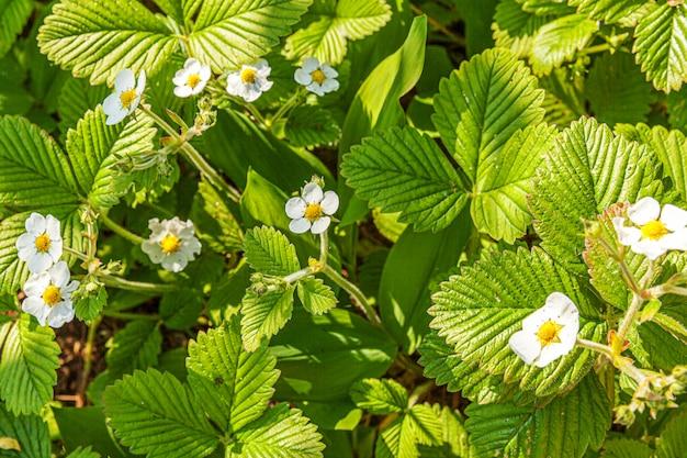 Industriële teelt van aardbeien. struik van aardbei met bloem in de lente of de zomertuinbed. natuurlijke groei van bessen op de boerderij. eco gezonde natuurvoeding tuinbouw concept muur.