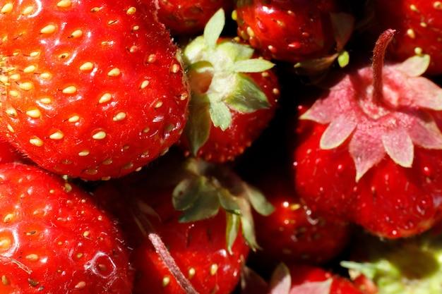 Industriële teelt van aardbeienplant rijpe rode vruchten aardbei macro extreme close-up stro...