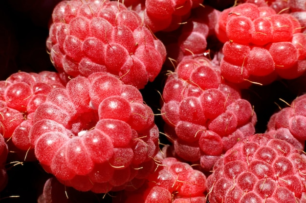 Industriële teelt van frambozenplant rijp rood fruit framboos macro close-up frambozenfruit b ...