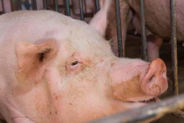 Industriële varkensbroedplaats om zijn vlees te verbruiken