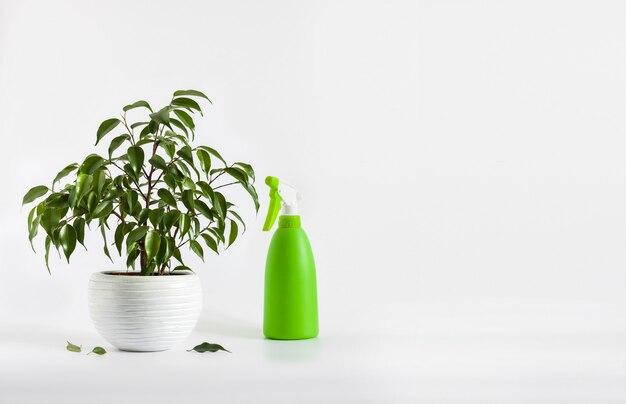 Ingemaakte ficus benjamina plant en groene spuitfles op witte achtergrond met kopie ruimte. verzorging van kamerplanten