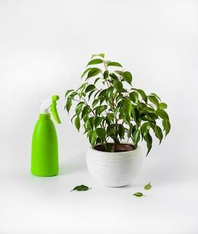 Ingemaakte ficus benjamina plant en groene spuitfles op witte achtergrond. verzorging van kamerplanten