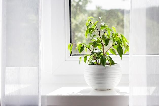Ingemaakte jonge ficus benjamina plant op de vensterbank in de kamer.