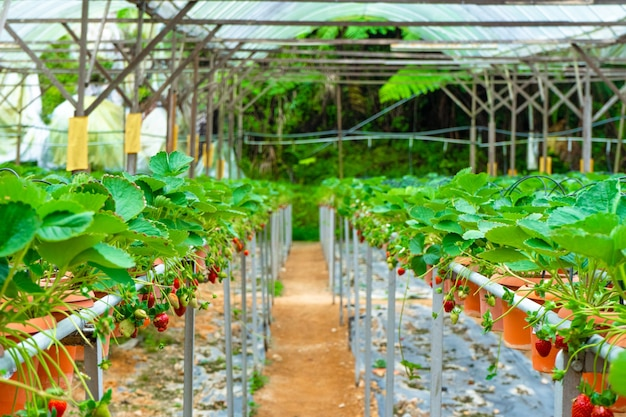 Ingemaakte planken en irrigatiesysteem aardbeienboerderij in maleisië.