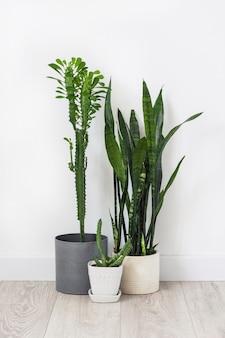 Ingemaakte vetplanten (euphorbia trigona, huernia en sansevieria) die op de vloer op een witte muurachtergrond blijven