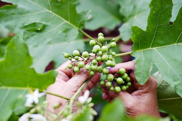 Inlandse groenten. hand van tuinman die de bes van turkije of erwtenaubergine kepping met zonlicht in tuin