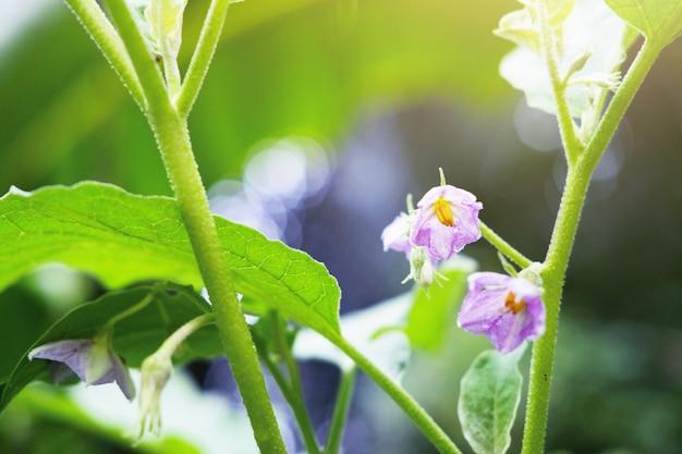 Inlandse groenten. paarse bloemen van groene eierplant of ronde aubergine met zonlicht in de tuin