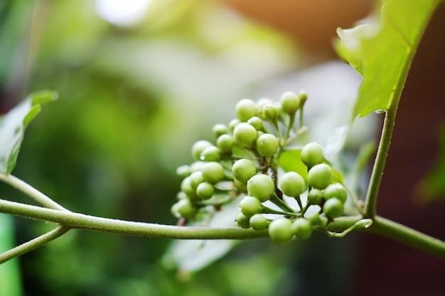 Inlandse groenten. turkije berry of pea eggplant met zonlicht in de tuin