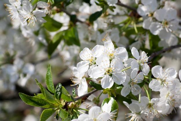 Inschrijving lente wit bloeiende boom in de stralen van de zon