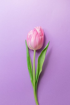Inschrijving roze tulp in centrum van pastel violette achtergrond.
