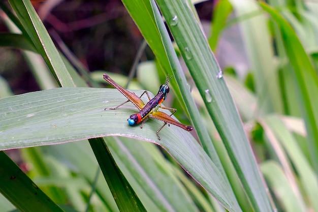 Insect vergelijkbaar met een gekleurde sprinkhaan of krekel,