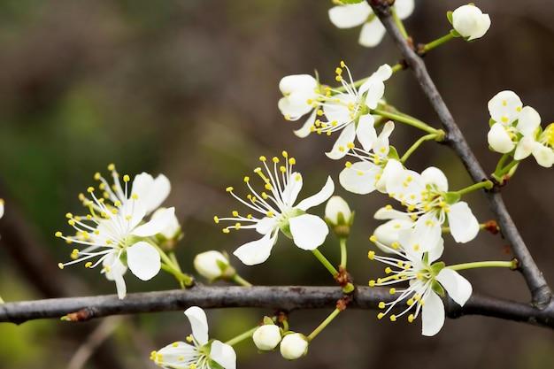 Intreepupil bloemenachtergrond met kersenbloesems op groene bladeren.