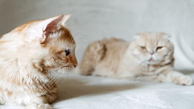 Introductie van twee katten adopteer een tweede kat en voeg een tweede kat toe aan uw huishouden, vredig huis met meerdere katten