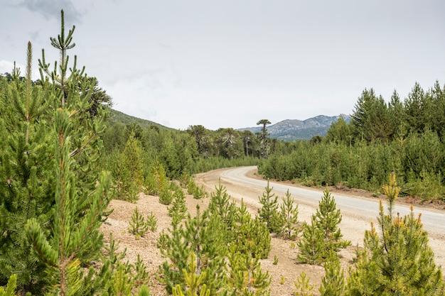 Invasieve exotische dennen in de bossen van araucarias, neuquen, patagonië argentinië.