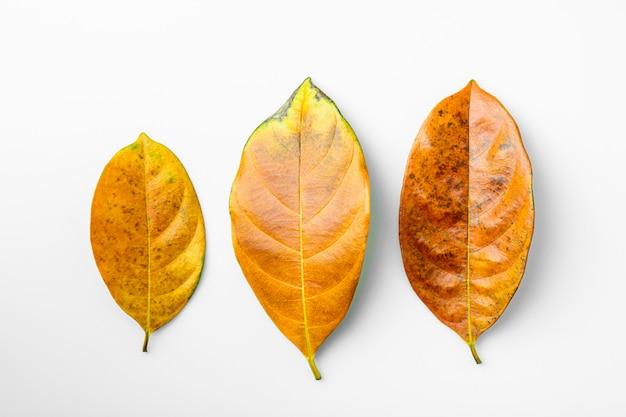 Inzameling van bruine droge bladeren op witte achtergrond.