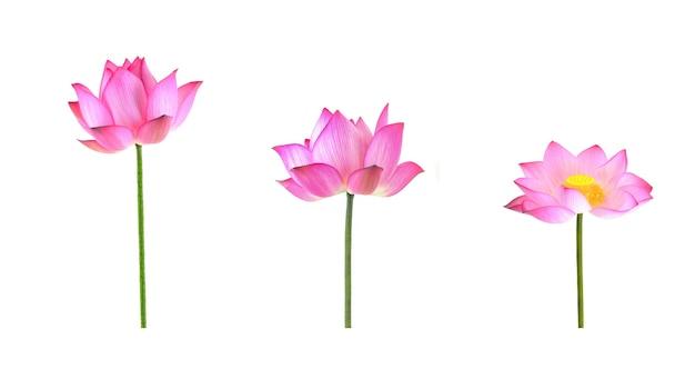 Inzameling van lotusbloem die op wit wordt geïsoleerd.