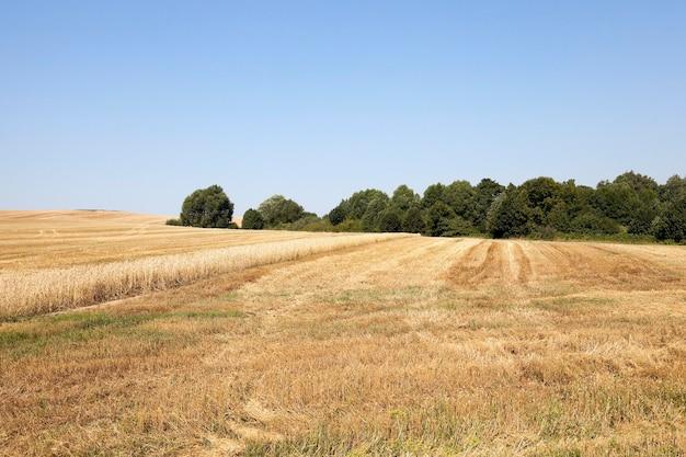 Inzameling van rijpe tarwe - landbouwgebied waar oogst vergeelde rijpe tarwe, blauwe hemel, bomen