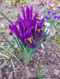 Iris die in de botanische tuin bloeit