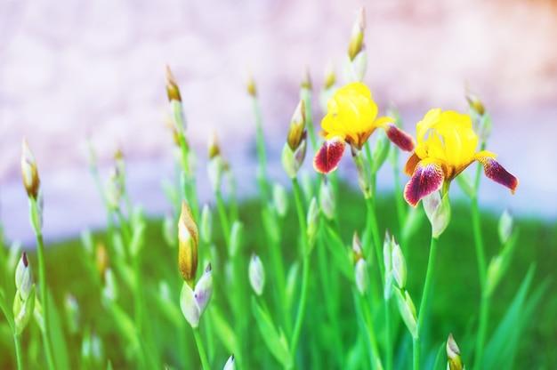 Irisbloemen op een gebied