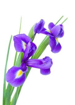 Irissen bloem ruikertje geïsoleerd