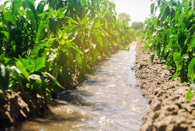 Irrigatie van paprika's in het veld.