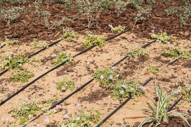 Irrigatiezand en plant in woestijn