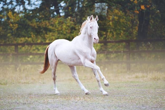 Isabella hengst met blauwe ogen. een paard galoppeert in een levada en laat een spoor van stof achter